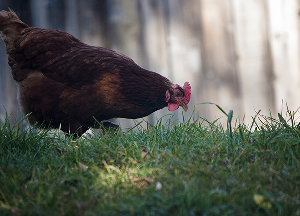 A chicken at Riverdale Farm Toronto